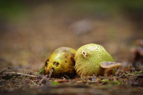 gele aardappelbovist